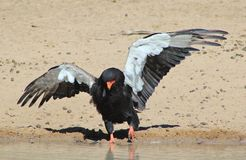 Eagle, Bateleur - African Wild Raptors - Wing Walk Royalty Free Stock Photography