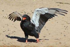 Eagle, Bateleur - African Wild Raptors - Wing Walking Stock Images