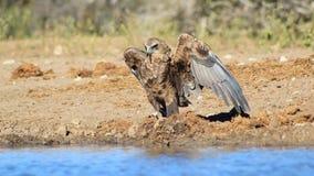 Eagle, Bateleur-Junge - afrikanische Farbe, Stolz, Gefieder und Flügel Lizenzfreie Stockfotografie
