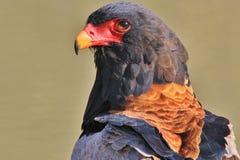 Eagle Bateleur - lös fågelbakgrund av rovfåglar från lösa Afrika Royaltyfri Foto