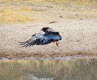 Eagle, Bateleur - Landing gear down ! Stock Photography