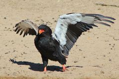 Eagle, Bateleur - Raptors sauvage africain - Wing Walking Images stock