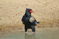 Eagle, Bateleur - Stance of the Brave Royalty Free Stock Photo