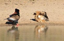 Eagle, Bateleur und gelb-brauner - wilde Raubvögel von Afrika - Feder-Kampf Stockbilder