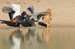 Eagle, Bateleur und Gelb-braunes - wilde Raubvögel von Afrika - was sind Sie Bateleurs bis? Stockfotografie