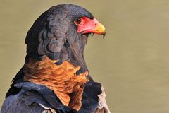 Eagle, Bateleur - Wild Bird Background of Raptor - Africa Royalty Free Stock Image