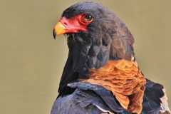 Eagle, Bateleur - Wild Bird Background of Raptors from wild Africa. An adult Bateleur Eagle at a watering hole, posing with perfect plumage and color, from royalty free stock photo
