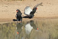 Eagle, Bateleur - Wild Raptors from Africa - My Fine Feathers. Two Bateleur Eagles have a disagreement over water rights at a watering hole in Namibia, Africa Stock Photography