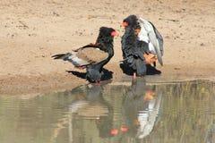 Eagle, Bateleur - wilde Raubvögel von Afrika - ich bin größer, besser und mehr Bateleur Stockfoto