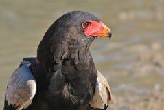 Eagle, Bateleur - wilde Raubvögel von Afrika - Schönheit ist im Auge des Beschauers Lizenzfreies Stockbild