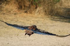 Eagle, Bateleur - Wind under wing Royalty Free Stock Photos