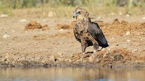 Eagle, Bateleur Young - Africa's Golden Sky Bird Royalty Free Stock Photo