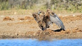 Eagle, Bateleur Young - African color, pride, plumage and wings Royalty Free Stock Photography