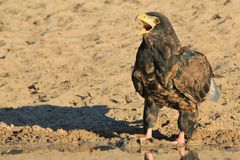Eagle, Bateleur Young - Wild Raptors from Africa - Calling Life Royalty Free Stock Image