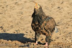 Eagle, Bateleur Young - Wild Raptors from Africa - Calling Nature Stock Photography
