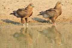 Eagle, Bateleur Young - Wild Raptors Reflection and Background from Africa Stock Image