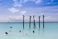 Eagle beach in Aruba. Pelicans on wood.  royalty free stock image