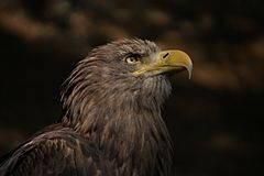 Eagle. Beatiful eagle from Pilsen Zoo Stock Photography