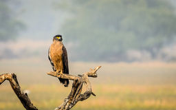 Eagle in beautiful pose Stock Images