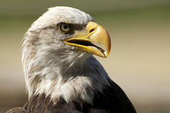 Eagle. The beautifull eagle in a beauti portraits stock photos