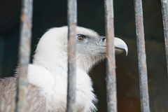 Eagle behind the bars of Zoo cell Royalty Free Stock Images