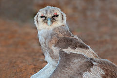 Eagle-búho gigante Imagen de archivo libre de regalías