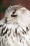 Eagle with big eyes Royalty Free Stock Photography