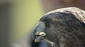 Eagle bij een vogel die toont vliegen Royalty-vrije Stock Foto's