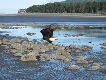 Eagle bij start van Homer Spit. stock foto's