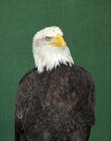 Eagle Bird. Royalty Free Stock Photo