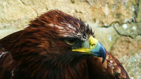 Eagle, Bird, Animal, Bird Of Prey Royalty Free Stock Photography