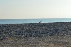 Eagle bird in Beach village royalty free stock photos