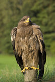 Eagle bird in countryside Royalty Free Stock Photos