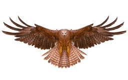 Eagle bird flying hand draw Royalty Free Stock Images