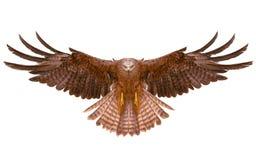 Eagle bird flying hand draw stock illustration
