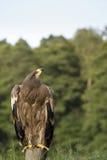 Eagle bird on post Stock Image