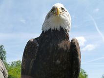 Eagle, Bird Of Prey, Beak, Accipitriformes royalty free stock image
