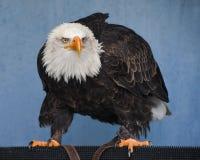 Eagle, Bird Of Prey, Beak, Bald Eagle royalty free stock photos