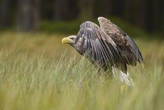 Eagle Blanc-coupé la queue - albicilla de Haliaeetus photos stock