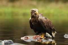 Eagle Blanc-coupé la queue, albicilla de Haliaeetus, avec les poissons tués dans l'eau photographie stock