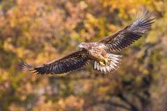 Eagle Blanc-coupé la queue, albicilla de Haliaeetus vole dans l'environnement de couleur d'automne de la faune Également connu co image libre de droits