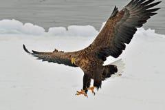 Eagle Blanc-coupé la queue, Zeearend, albicilla de Haliaeetus photo libre de droits