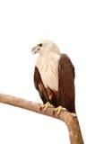 Eagle blanco Fotografía de archivo