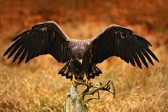 Eagle Blanco-atado, albicilla del Haliaeetus, aterrizando en la rama de árbol, con la hierba marrón en fondo Aterrizaje del pájar Fotografía de archivo