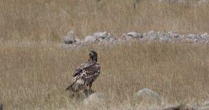 Eagle Blanco-atado encima de la roca metrajes