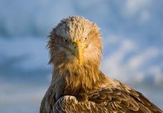 Eagle Blanco-atado, Zeearend, albicilla del Haliaeetus fotografía de archivo