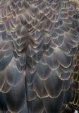Eagle Body Feathers calvo com escalada do inseto imagem de stock