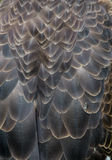 Eagle Body Feathers calvo con la scalata dell'insetto Immagine Stock