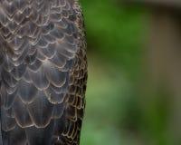 Eagle Body Feathers calvo con lo spazio della copia Fotografia Stock Libera da Diritti