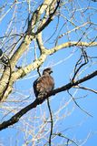 Eagle on Branch Royalty Free Stock Photo